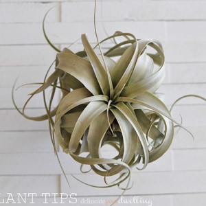 1-air-plant-tips