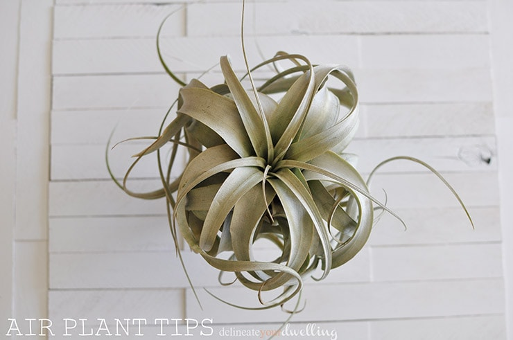 Air Plant tips and care - Delineate Your Dwelling