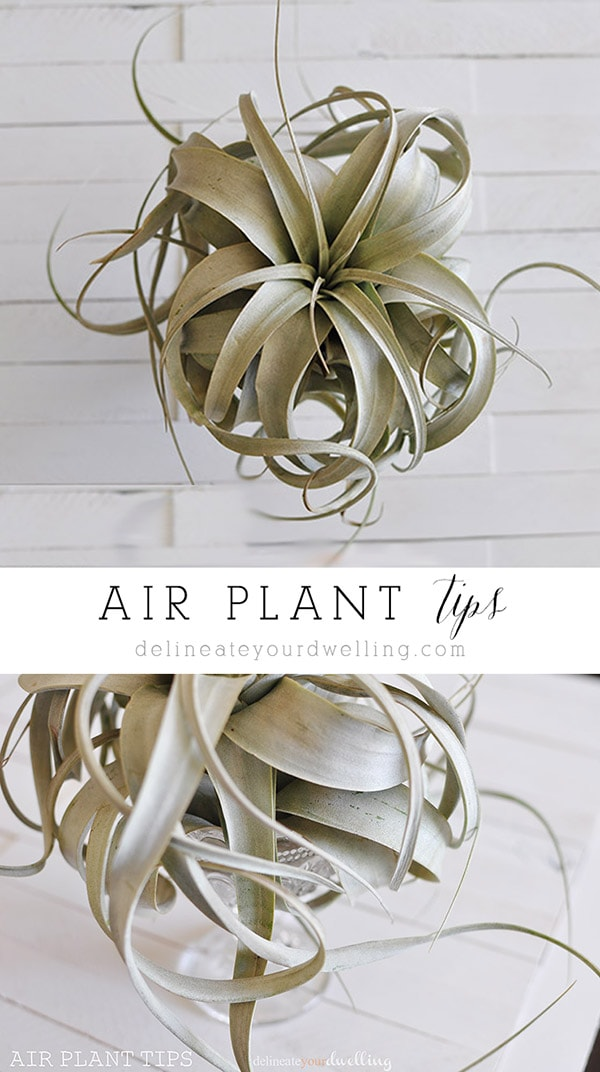 Air Plant tips, Delineateyourdwelling.com