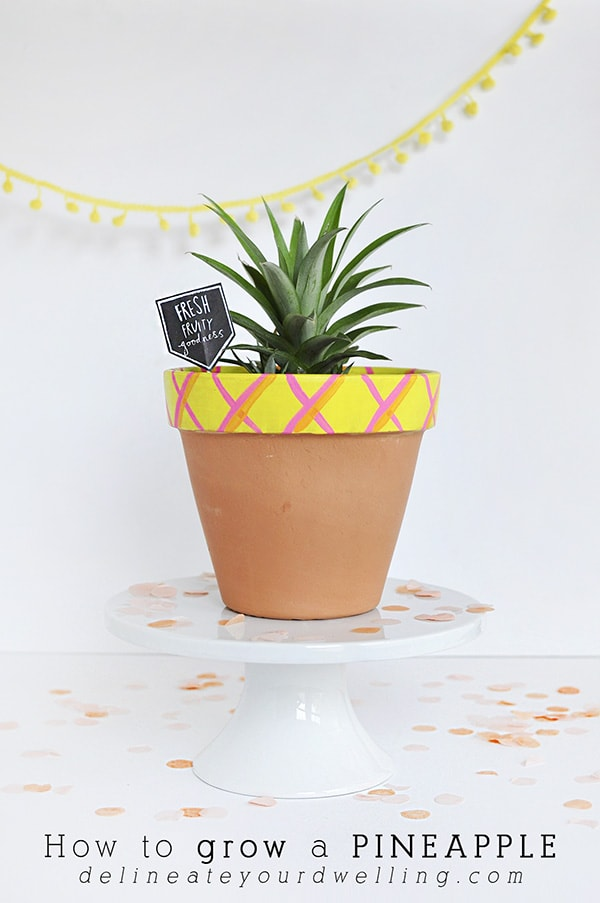 How to grow a pineapple delineate your dwelling for How to plant a pineapple top in a pot